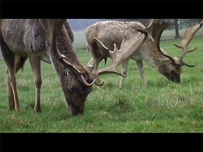 The Richmond Park Deer